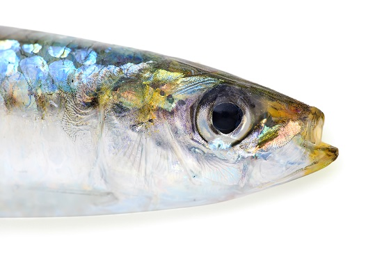 Sardine with clipping path
