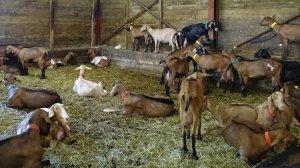 chèvres Mondragon