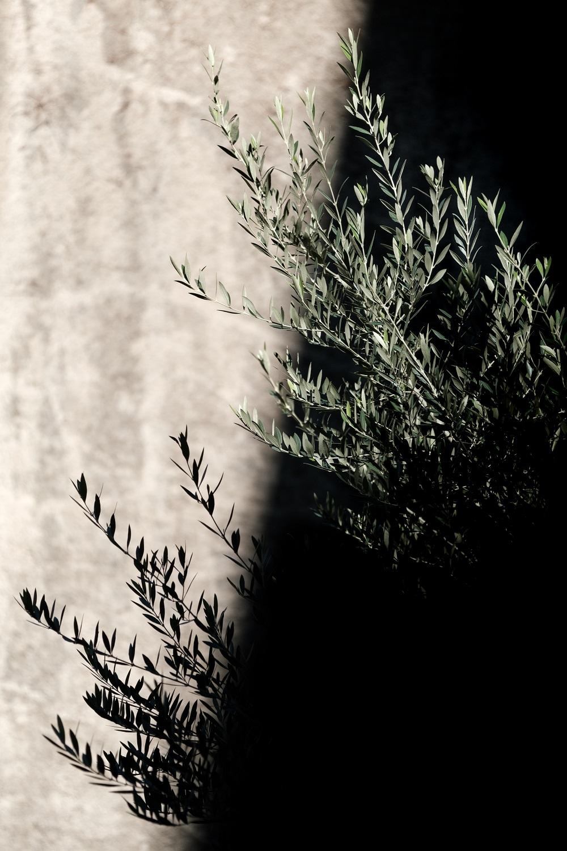Itinéraire de l'olivier