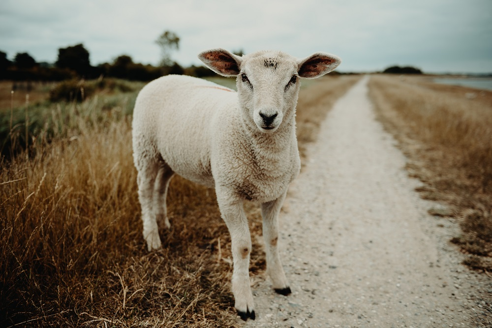 élevage agneau